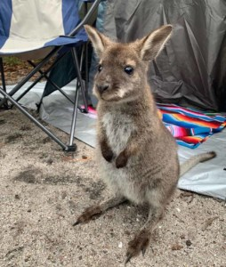 a wallaby at Friendly Beaches kitespot in Tasmania  // kiterrcom