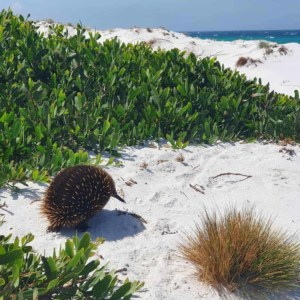an echidna at Friendly Beach in Tasmania  // kiterr